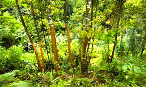 Cassia Crop
